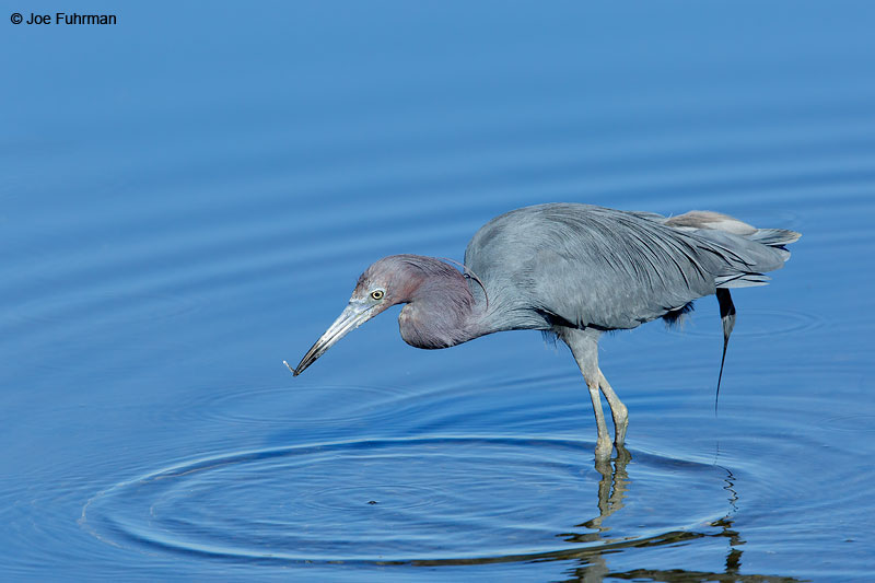 Little Blue Heron San Diego Co., CA March 2015