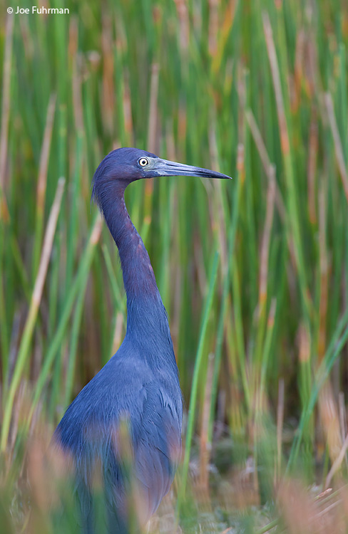 Little Blue Heron Palm Beach Co., FL October 2009