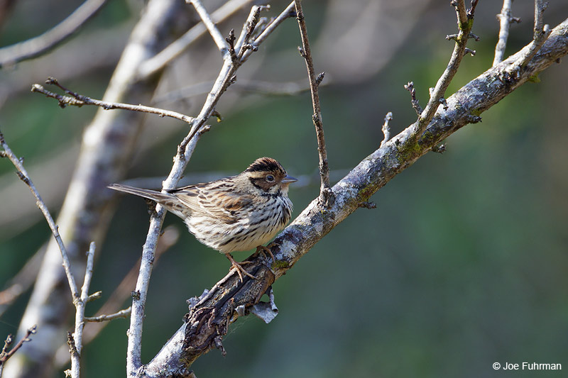 Little Bunting Thailand   Feb. 2012