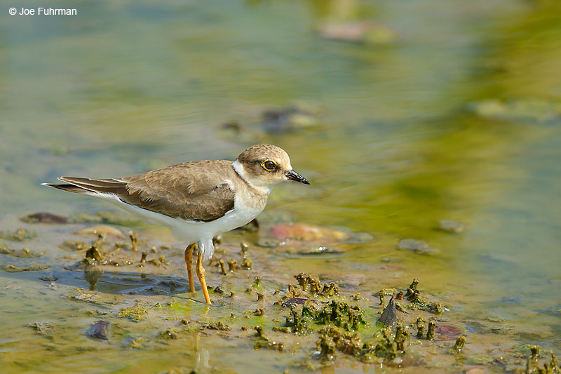 Little Ringed PloverThailand   October 2015
