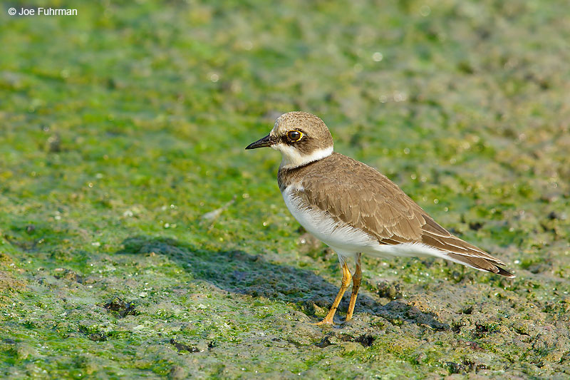 Little Ringed Plover Thailand   October 2015