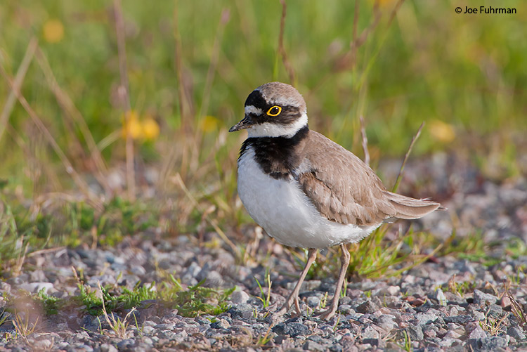 Little Ringed Plover Oslo, Norway June 2008