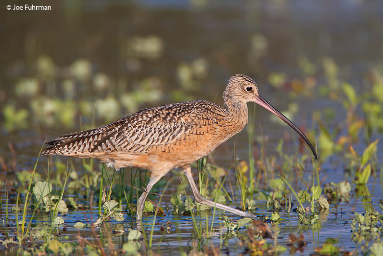 Long-billed Curlew Ventura Co., CA September 2008