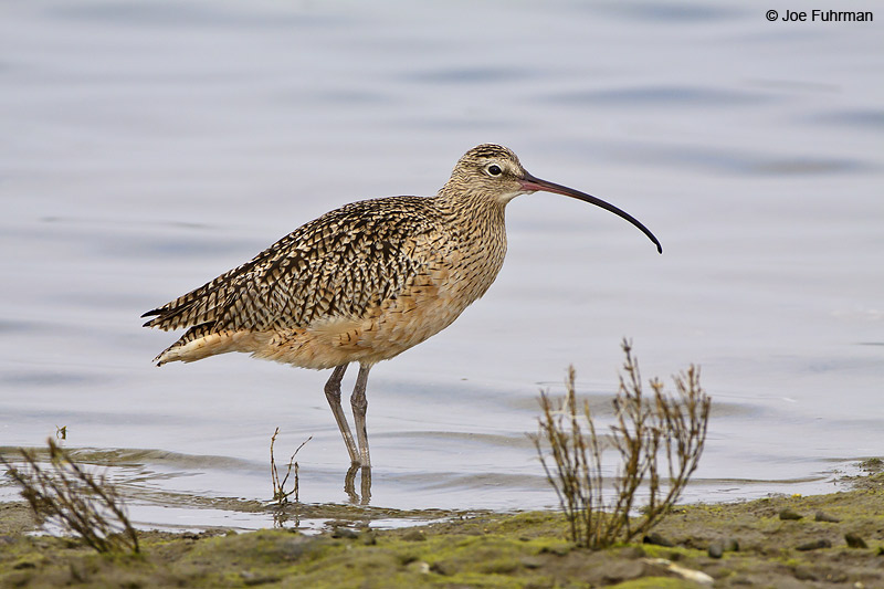 Long-billed Curlew Orange Co., CA November 2009