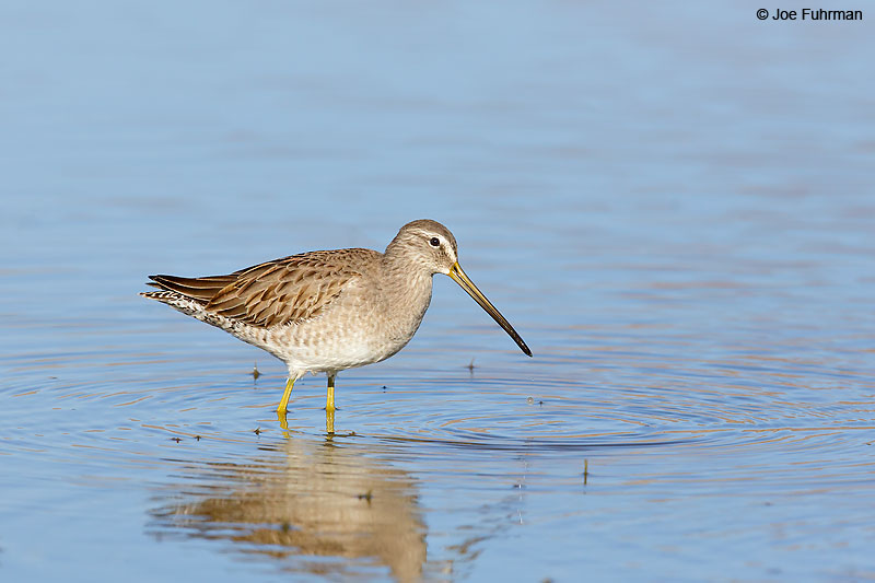 Long-billed Dowitcher Riverside Co., CA   November 2016