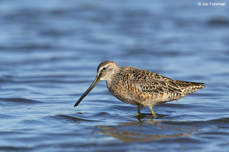 Long-billed Dowitcher Galveston, TX May 2014