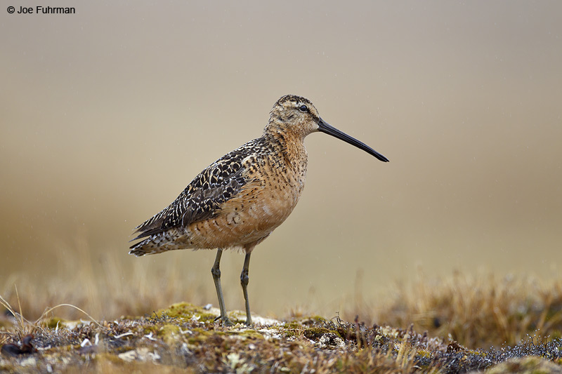 Long-billed Dowitcher-breeding Barrow, AK June 2012
