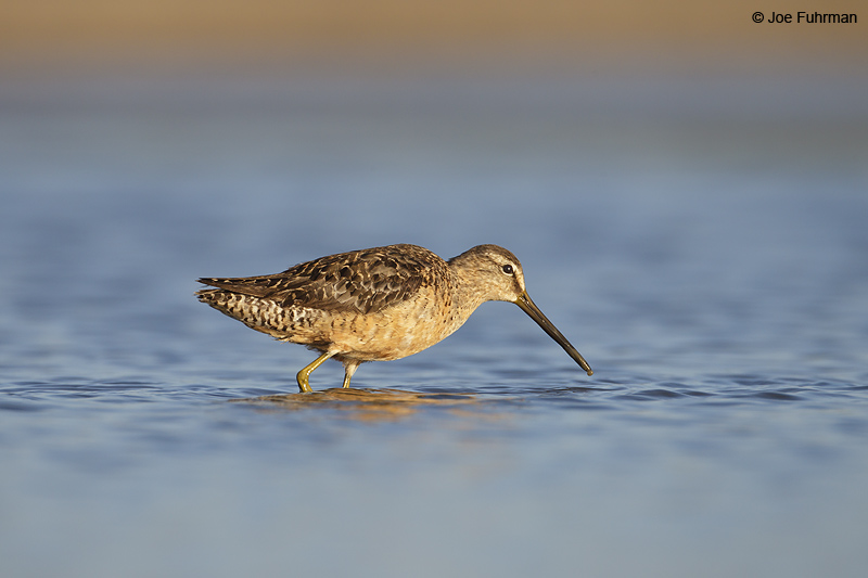 Long-billed Dowitcher Ventura Co., CA August 2012