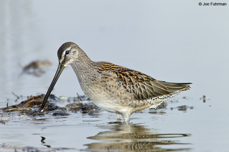 Long-billed Dowitcher Ventura Co., CA Sept. 2010