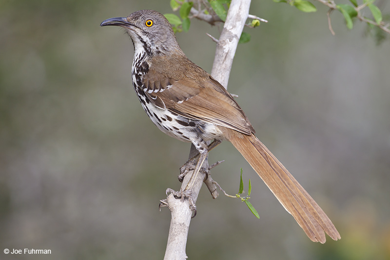 Long-billed Thrasher Starr Co., TX    April 2012