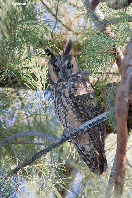 Long-eared Owl San Diego Co., CA January 2006