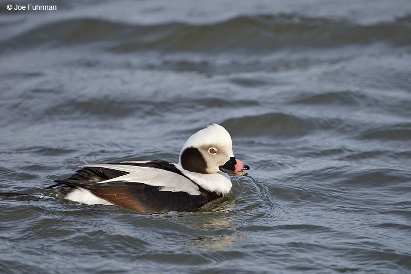 Long-tailed Duck, male Ocean Co., NJ   Jan. 2013