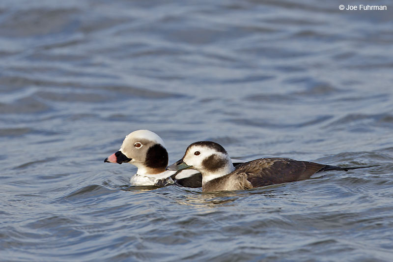 Long-tailed Duck, male & female Ocean Co., NJ   Jan. 2013