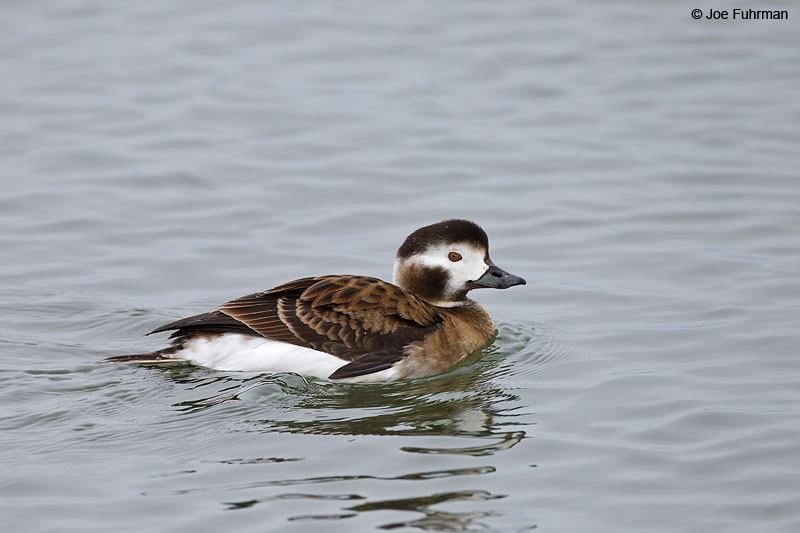 Long-tailed Duck, female Ocean Co., NJ   Jan. 2013