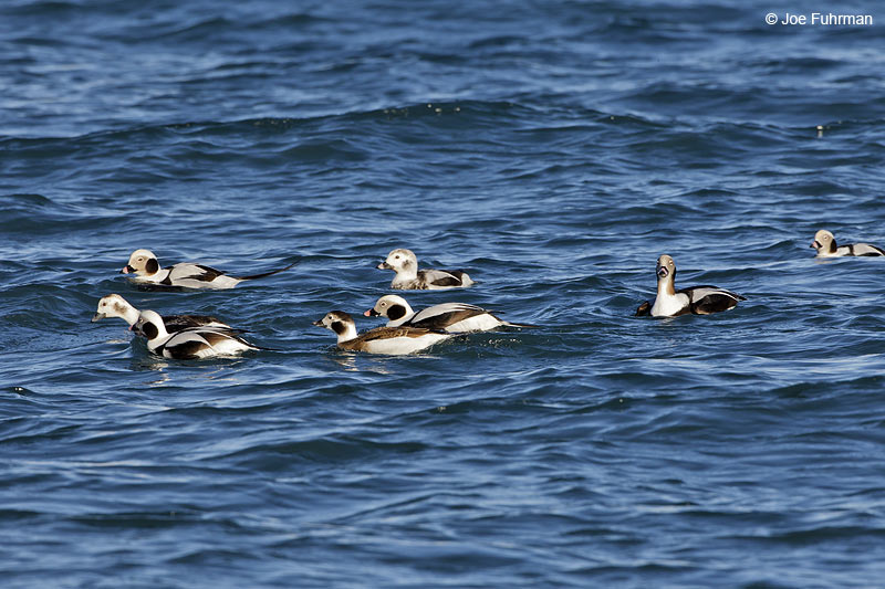 Long-tailed Duck Homer, AK   March 2011