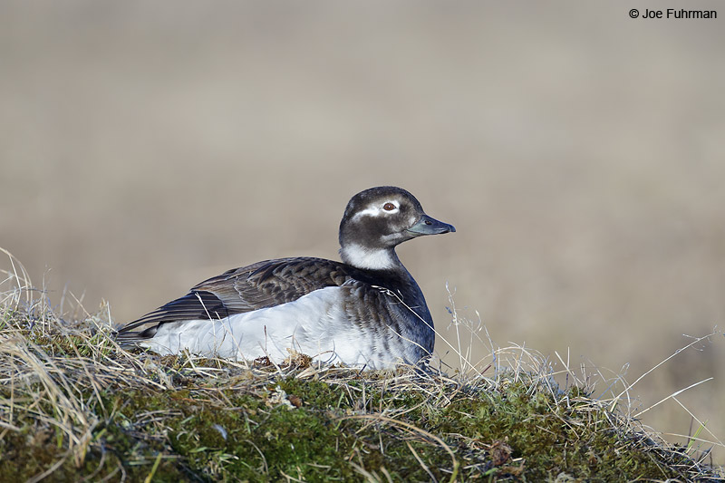 Long-tailed Duck Barrow, AK    June 2012