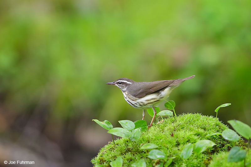Louisiana Waterthrush Lackawanna Co., PA   May 2016