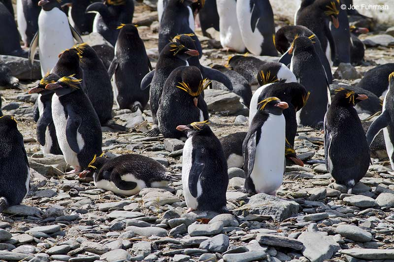 Macaroni Penguin Cooper Bay, South Georgia Island   Nov. 2010