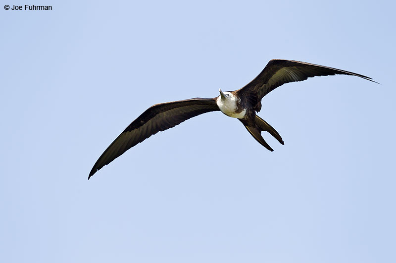 Magnificent Frigatebird Ameca River Lagoon-Nay., Mexico March 2013