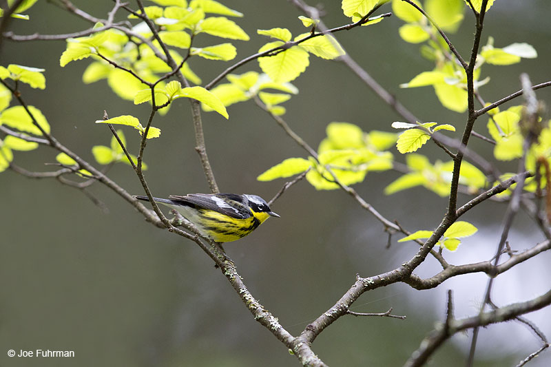 Magnolia Warbler Piscataquis Co., ME May 2013