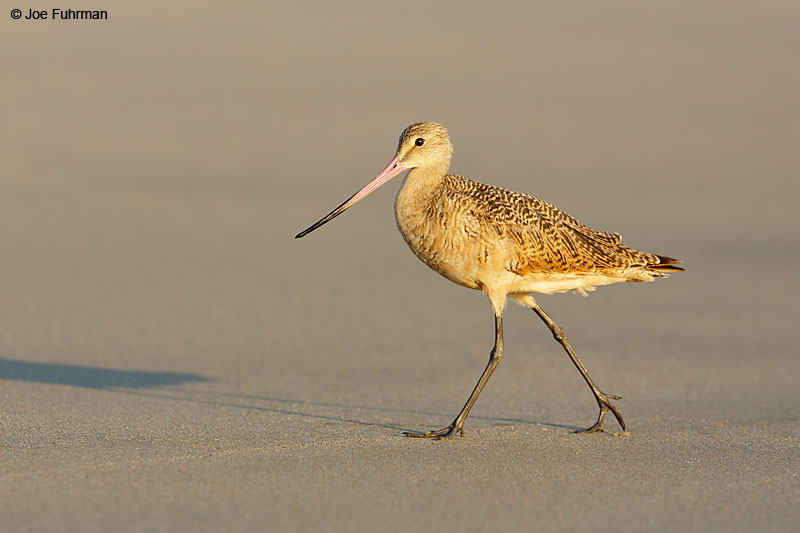Marbled Godwit L.A. Co., CA August 2015