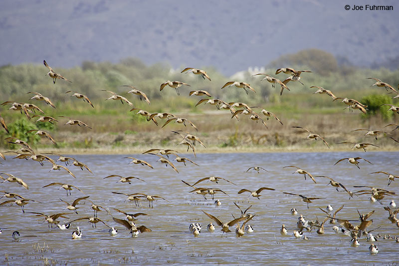 Marbled Godwit Ventura Co., CA March 2006