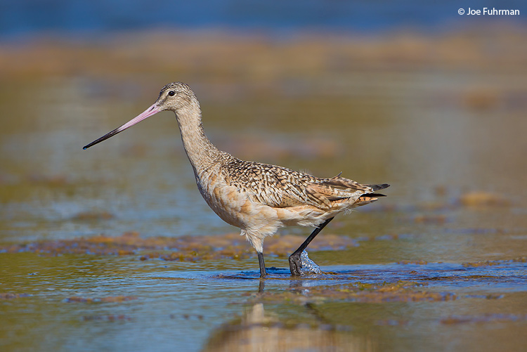 Marbled Godwit BCS, Mexico March 2011