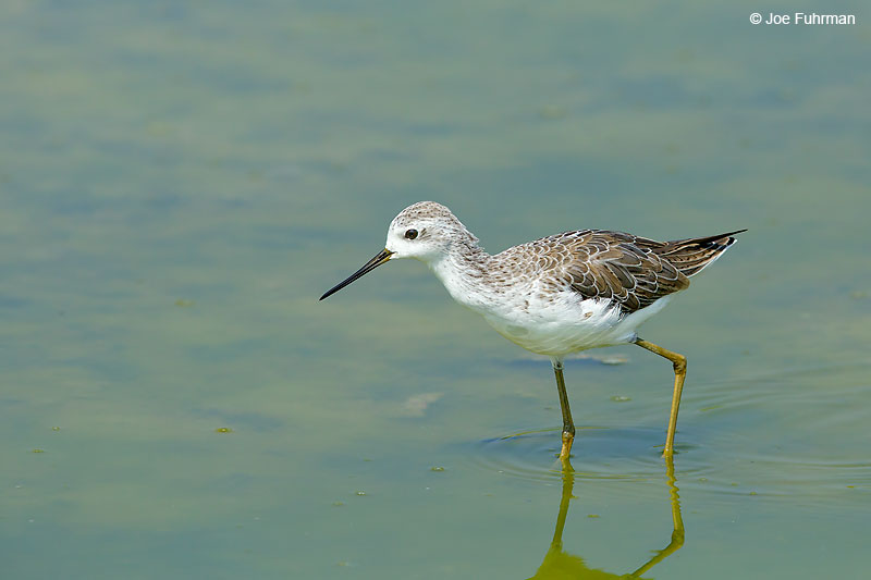 Marsh Sandpiper Thailand   October 2015