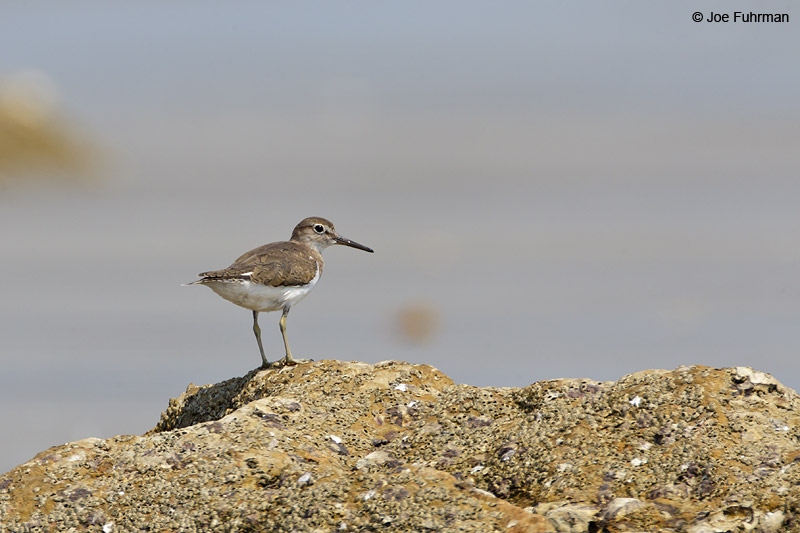 Marsh Sandpiper Thailand Feb. 2012