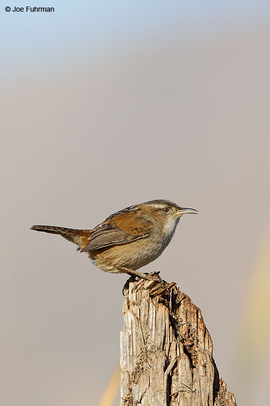 Marsh Wren Riverside Co., CA December 2015
