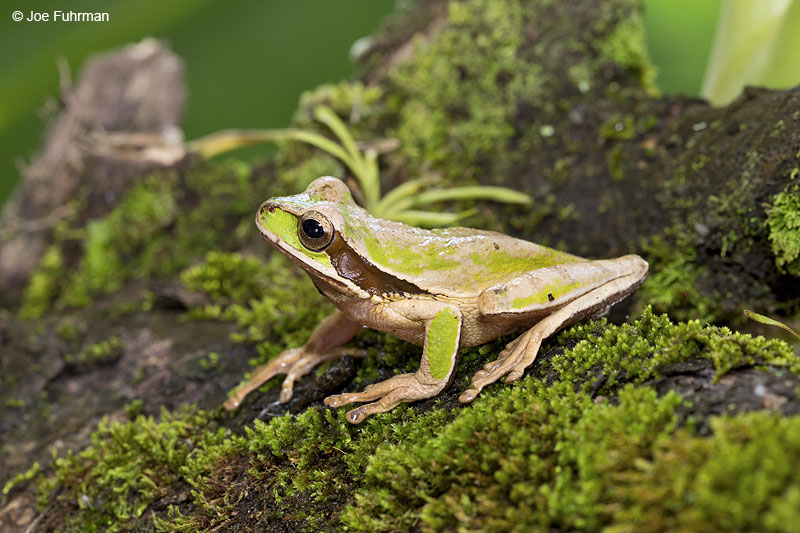 Masked_Tree_Frog_16A4630