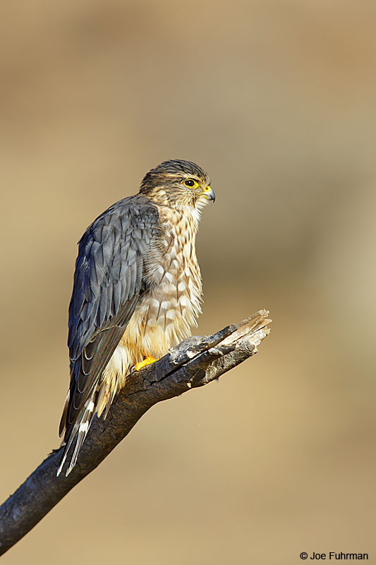 Merlin maleRiverside Co., CA December 2015
