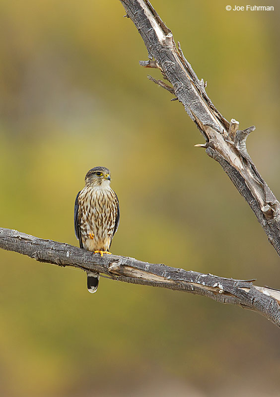 Merlin femaleRiverside Co., CA December 2015