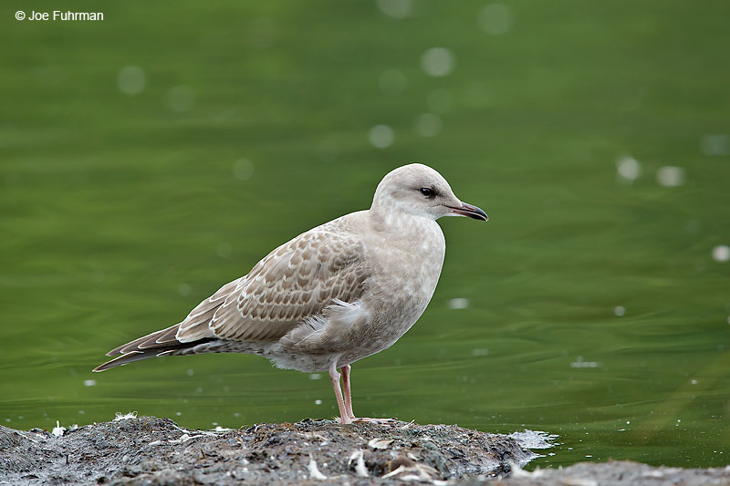 Mew Gull juv.Anchorage, AK   August 2016
