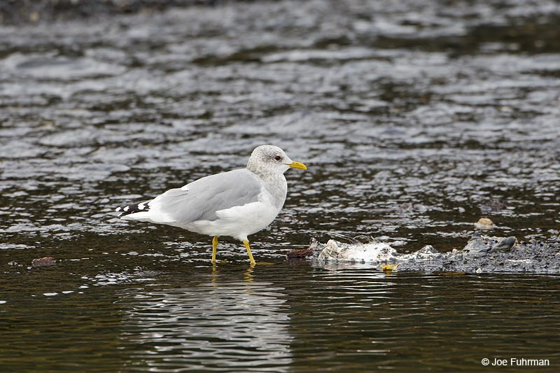 Mew Gull Seward, AK Sept. 2012