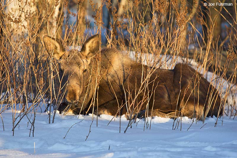 Moose juv. Anchorage, AK March 2014
