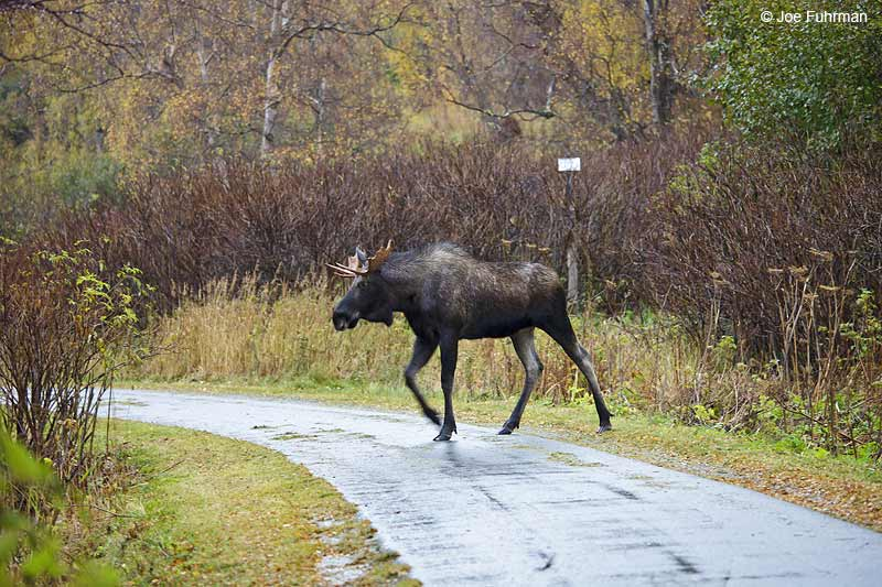 Moose Anchorage, AK Oct. 2012