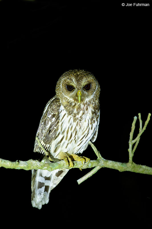 Mottled Owl Jalisco, Mexico April 2015