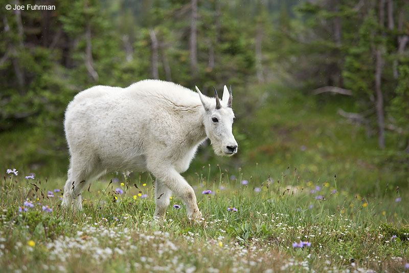 Mountain Goat Glacier National Park, MT   Aug. 2014