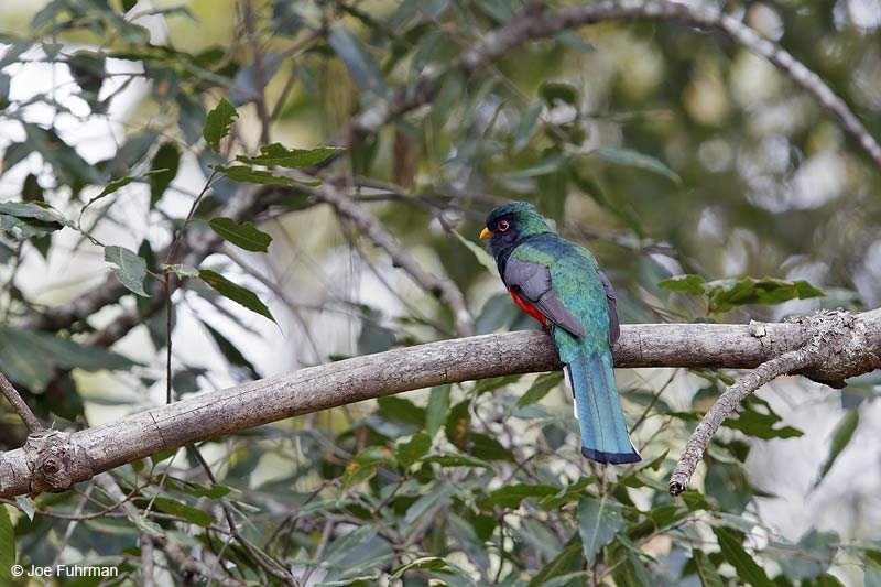 Mountain_Trogon_W0G7014