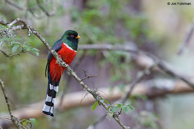 Mountain_Trogon_W0G7046