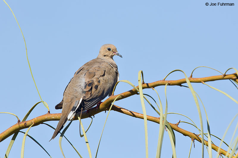 Mourning Dove Maricopa Co., AZ Aug. 2014