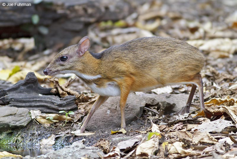 Mouse Deer Thailand   February 2012