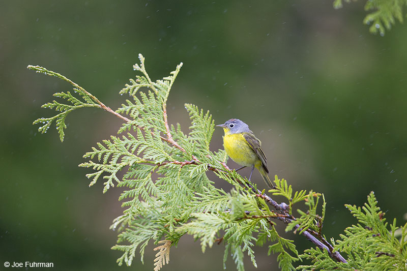 Nashville Warbler Piscataquis Co., ME May 2013