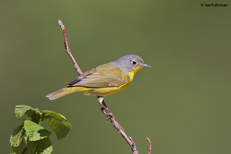 Nashville Warbler Chippewa Co., MI May 2010
