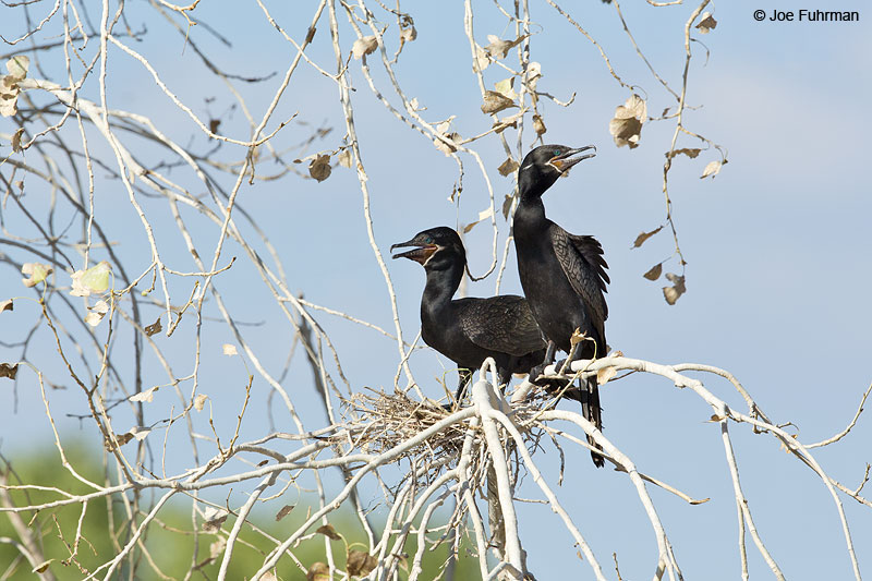Neotropic Cormorant Maricopa Co., AZ   Aug. 2014