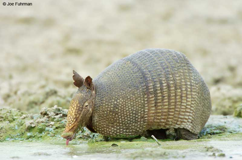 Nine-banded Armadillo Tamaulipas, Mexico   May 2005
