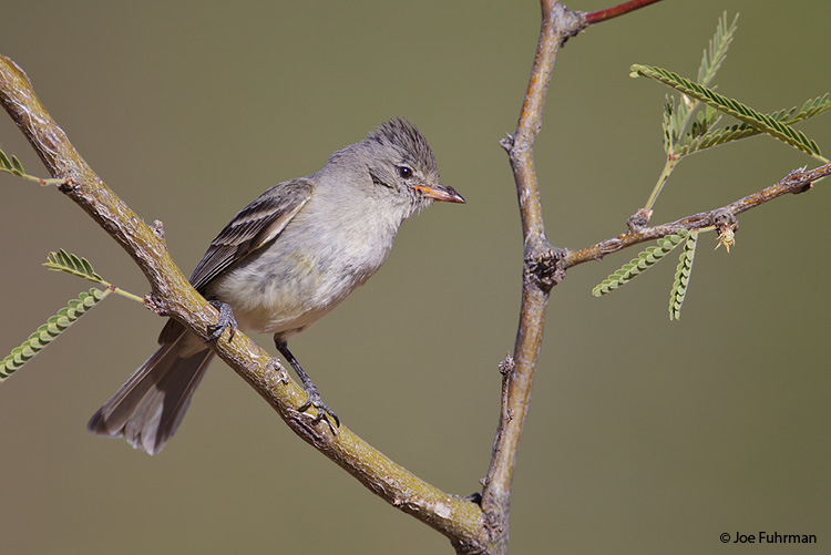 Northern Beardless-Tyrannulet Pima Co., AZ    May 2011