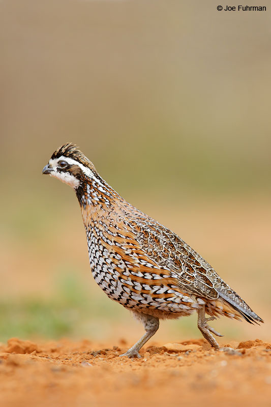 Northern BobwhiteStarr Co., TX   March 2015