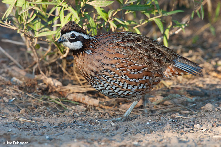Northern Bobwhite male Hidalgo Co., TX   December 2004